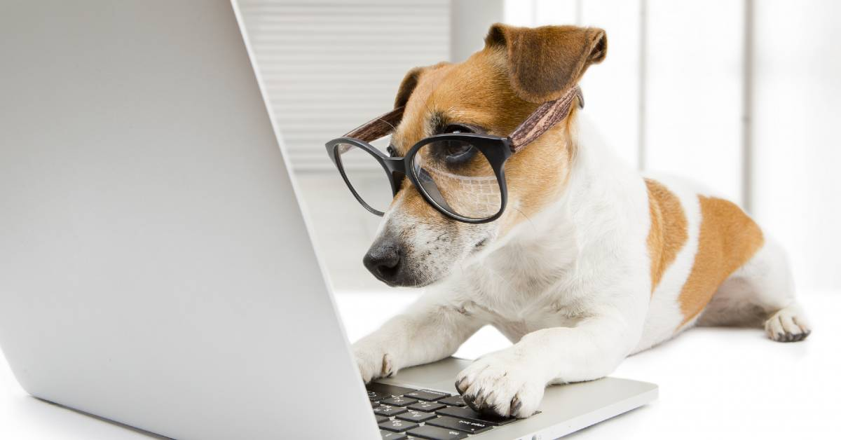 A Jack Russel Terrier wearing glasses and using a laptop